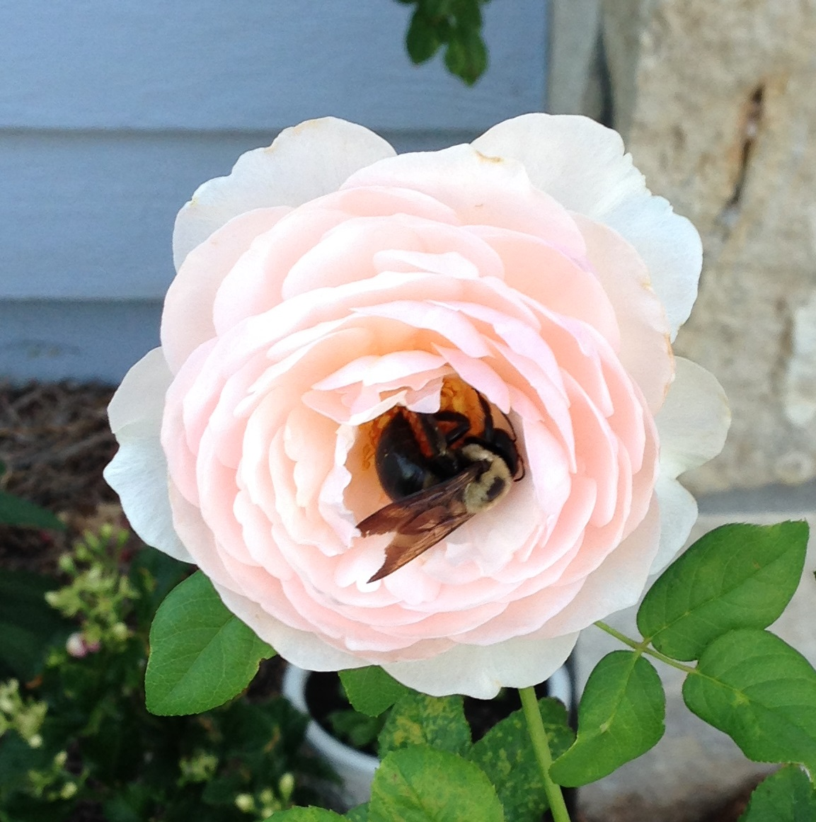 2014-07-21 09.21.17 heritage rose with bumblebee close